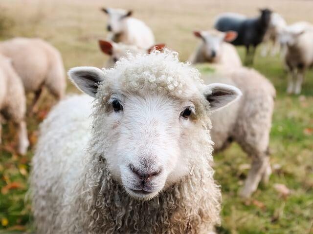 Kuva lampaista kotieläinpuistossa